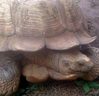 Africa Oldest Tortoise 'Alaagba'  In Ibadan Oyo, Died At The Age 344.